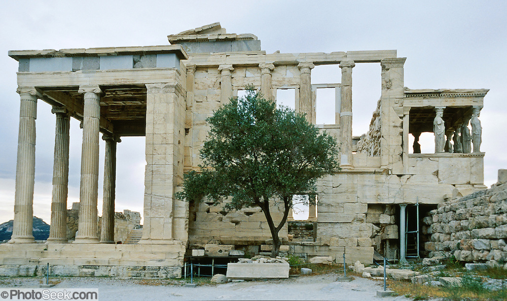 Olive tree, Erechtheion temple, Acropolis, Athens, Greece ...
