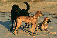 PRT, Portugal: Streunender Hund, Haushund (Canis lupus familiaris), kleine Guppe von drei Hunden beobachtet nervös andere Hunde am Strand, Monte Gordo , Algarve | PRT, Portugal: Stray dog, domestic dog (Canis lupus familiaris), small pack of three dogs excited observing other dogs at the beach, Monte Gordo, Algarve |