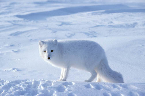 Arctic Fox (Alopex lagopus) Churchill, Manitoba. Canada. Winter.