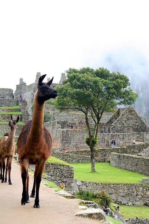 South America, Peru. Llama wandering amongst the citadel of Machu Picchu.