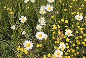Mellis Common, Suffolk Wildlife Trust wildflower meadow