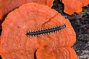 Tractor millipede, family Platyrhacidae (possibly juvenile Barydesmus sp.) crawling on a red tree fungus in Deramakot Forest Reserve, Sabah, Borneo.