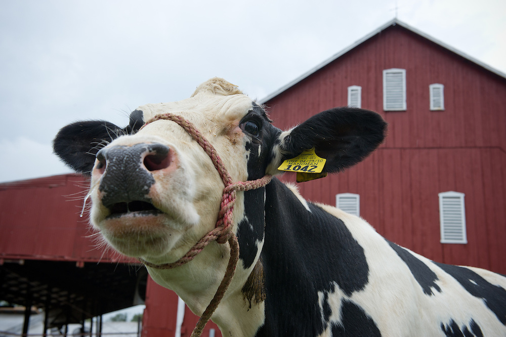 Dairy cow 'mooing' outside of a red barn