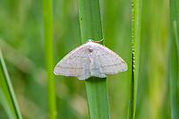 Found primarily around the western half of North America, and more concentrated toward the Pacific Coast, this attractive little looper moth (Protitame subalbaria) with no common name was found next to a creek in a small aspen-filled canyon in the middle of the sagebrush desert near Ellensburg, Washington.