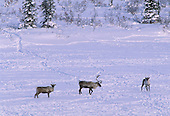 Wildlife: Caribou, Bull and Cow