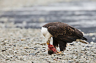 A bald eagle (Haliaeetus leucocephalus) feeds on a chum salmon along the banks of the Chilkat River in the Chilkat Bald Eagle Preserve near Haines in Southeast Alaska. Winter. Afternoon.