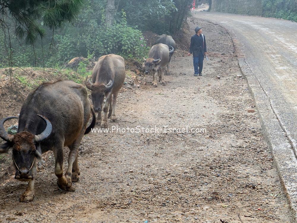 Water Buffalo (Bubalus bubalis) and farmer in rural Yuanyang, Yunnan, China