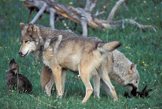 Gray Wolf, (Canis lupus) Alpha male and alpha female with pups at den site. Southwest Montana.  Captive Animal.