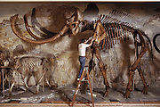 Mammoth skeleton. Side view of the largest mounted Mammuthus columbi skeleton in the world. It is housed at the University of Nebraska State Museum, USA. At upper left are giant up-curved tusks. This specimen is 4 meters in height. Mammuthus columbi (Columbian mammoth) was a giant elephant-like mammal, which roamed temperate parts of North America more than 10,000 years ago, when it became extinct. This species was an important later relative of the woolly mammoth of Europe and Siberia. These well-preserved bones of Mammuthus columbi were discovered in Lincoln County, Nebraska, in 1922, a site famous for its fossils. The skeleton was assembled in 1933. 1992.