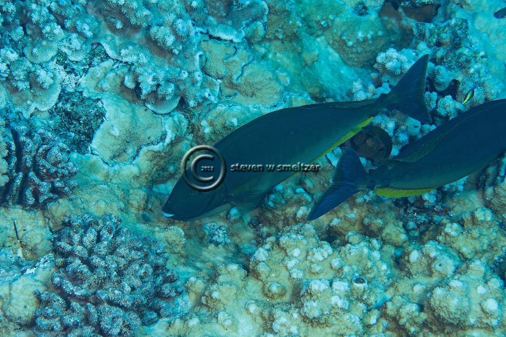 Sleek Unicornfish, Naso hexacanthus, (Bleeker, 1855), Molokini Crater, Hawaii