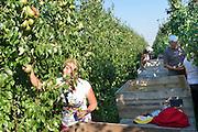 Nederland, Leuth, 13-9-2016      EIGENPeren worden binnengehaald door Poolse arbeidskrachten, mannen en vrouwen. Foto: Flip Franssen