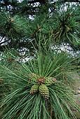 PONDEROSA PINE TREE STUFF