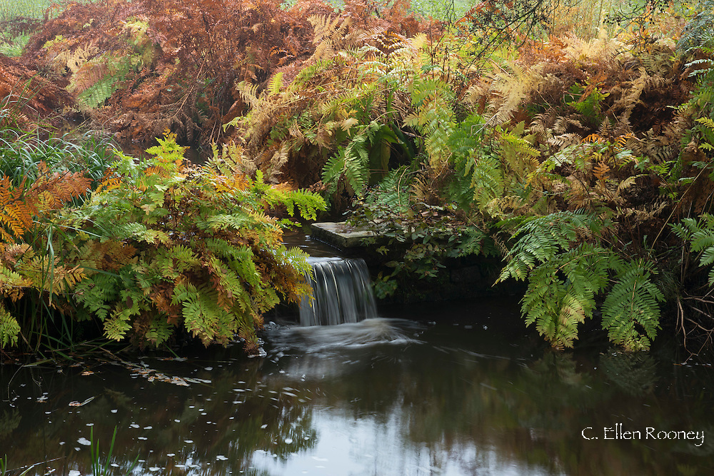 A small waterfall surrounded by rust coloured ferns in autumn in the Savill Garden, Surrey, UK