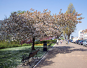 Cherry blossom tree,  Cliff Gardens, Westcliff Parade, Southend, Essex