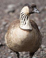 Nene, the endangered Hawaiin goose, is found only in the Hawaiian islands.