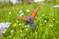 Feuerfalter auf Vergissmeinnicht, Lycaena spec., Myosotis spec., Poloniny Nationalpark, Ost-Slowakei, Europa / Copper Butterfly on Forgetmenot, Lycaena spec., Myosotis spec., Poloniny Nationalpark, East Slowakia, Europe