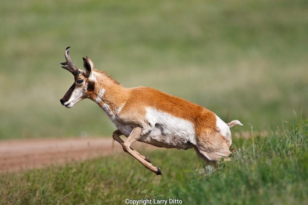 Pronghorn (Antilocapra americana) male Wyoming, USA