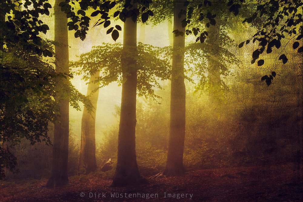 Hazy beech tree forest at sunrise on an October morning - textured photograph