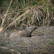 The wild boar (Sus scrofa), also known as the wild swine, Eurasian wild pig, or simply wild pig is a suid native to much of Thailand.
