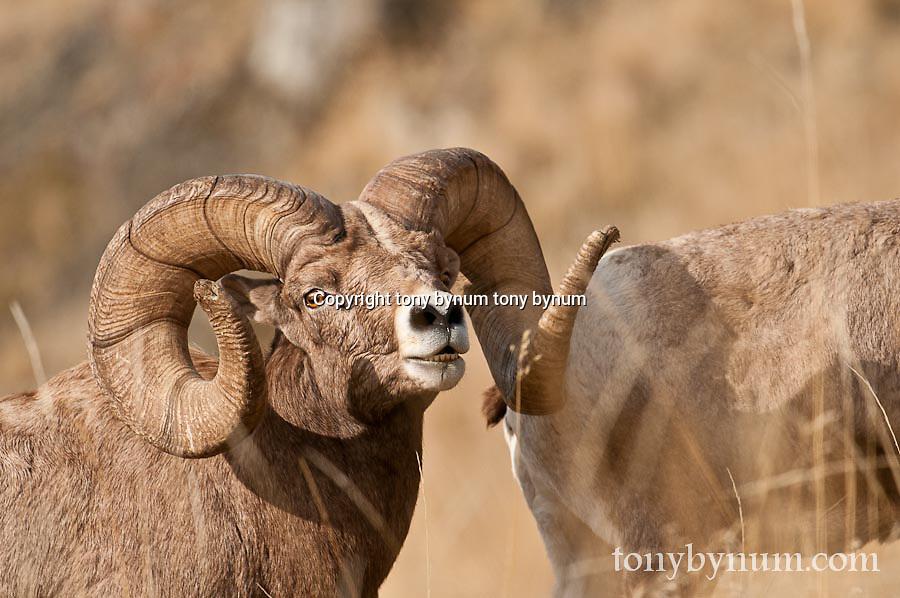 bighorn rams trophy sheep close full frame wild rocky mountain big horn sheep