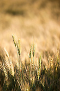 A close up image of wheat in the Palouse Region of Washington State with a shallow depth of field.