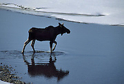 Moose, river, moose crossing river, Moose cow, cow, cow moose, Moose, Denali National Park, Alaska