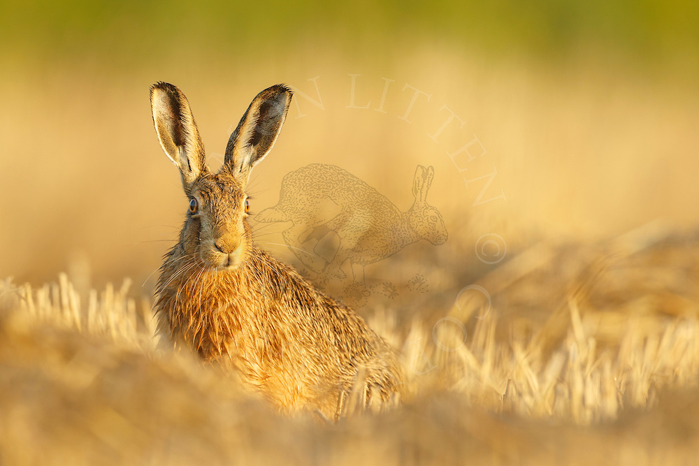 European Hare (Lepus europaeus) adult in wheat stubble field, Norfolk, UK.
