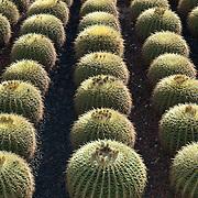 Cactus at Cactimundo. San José del Cabo, BCS. Mexico.