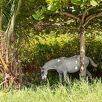 A horse grazes in the forest along Playa Hermosa near the Banana Beach lounge in Santa Teresa, Costa Rica.