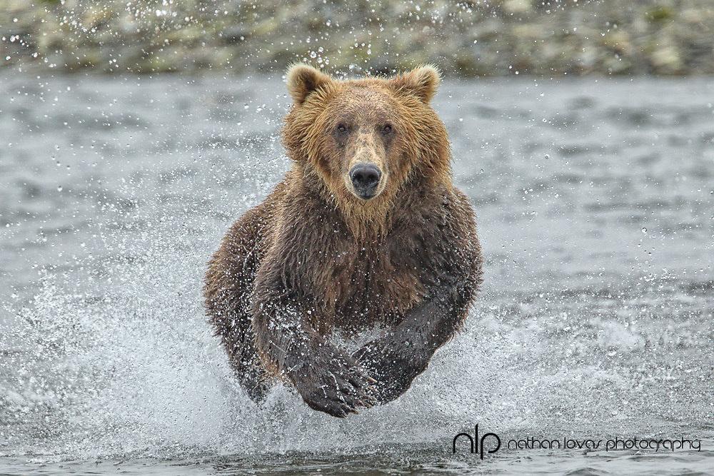 Brown bear (Ursus arctos) chasing salmon in river;  Katmai National Park, Alaska in wild.