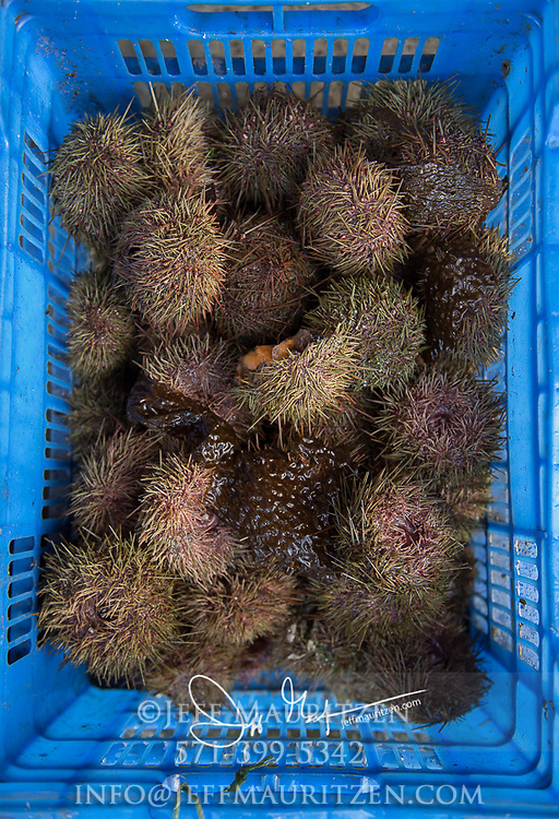 Sea urchins in a blue basket for sale at a market in Achao, Chile.