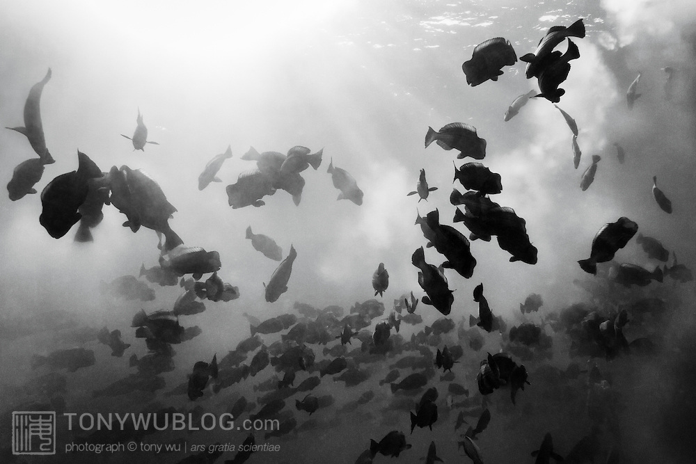 The chaotic action of a bumphead parrotfish (Bolbometopon muricatum) spawning aggregation, comprising thousands of fish releasing clouds of sperm and eggs into the water. As depicted here, groups of spawning fish, led by one or possibly more females, rise up from the primary mass of fish to release their gametes, and then rejoin the swarm below. Photographed in the early morning in the Republic of Palau.