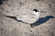 A Sandwich Tern on the beach in Venice, Florida.