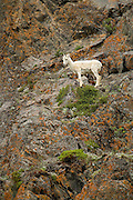 Dall sheep ewe on cliff