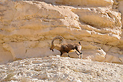 Male with female Nubian Ibex (Capra ibex nubiana AKA Capra nubiana) close up of a large mature male. Israel, Negev, Outskirts of Kibbutz Sde Boker
