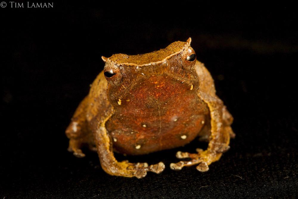 Frog (Sphenophryne cornuta)