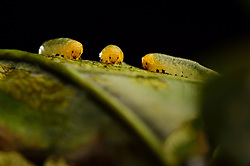 Larven der Kleinen Lindenblattwespe<br /> (Caliroa annulipes)