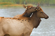 After a gestation period of almost nine months, elk calves are born in late spring. Young calves remain with their mother for the first year of their lives until new calves are born. Female calves stay with their mother's herd indefinitely, while males inhabit the periphery of the herd for a number of years until they eventually disperse to bachelor herds.