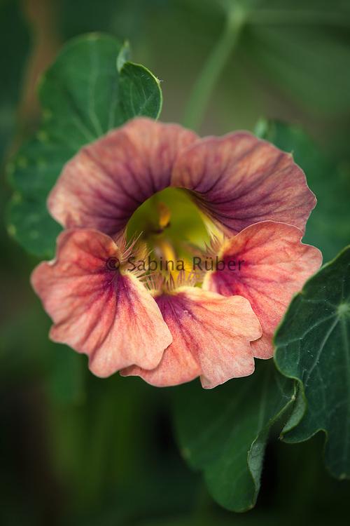 Tropaeolum minus 'Ladybird Rose' - dwarf nasturtium