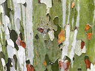 Close-up of the camouflage pattern of sycamore bark.