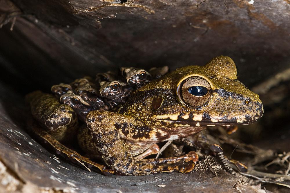 Groete Creek treefrog (Stefania evansi) female carrying froglets on back<br /> Kaieteur Falls<br /> GUYANA<br /> South America<br /> Kaieteur National Park, in Essequibo, Guyana,<br /> endemic to Guyana