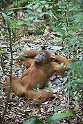 Sumatran Orangutan<br /> Pongo abelii<br /> Adult female laying on ground nest<br /> North Sumatra, Indonesia<br /> *Critically Endangered
