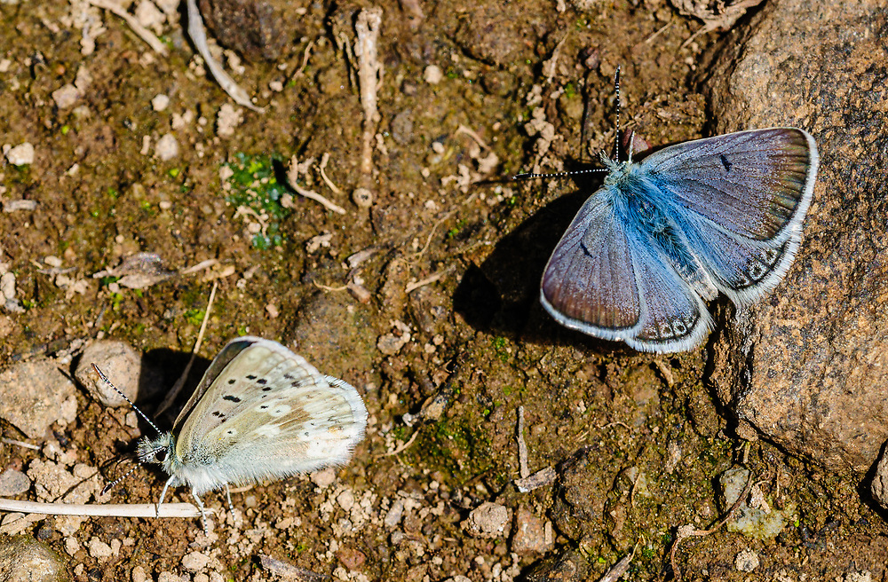 Arctic Blue (High Mountain Blue) Butterflies [Agriades franklinii] sipping water from damp pond edge; mountain tarn, Gunnison National Forest, Colorado