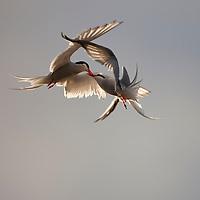 Norway, Svalbard, Longyearbyen, Arctic Terns (Sterna paradisaea) fighting while in flight under midnight sun