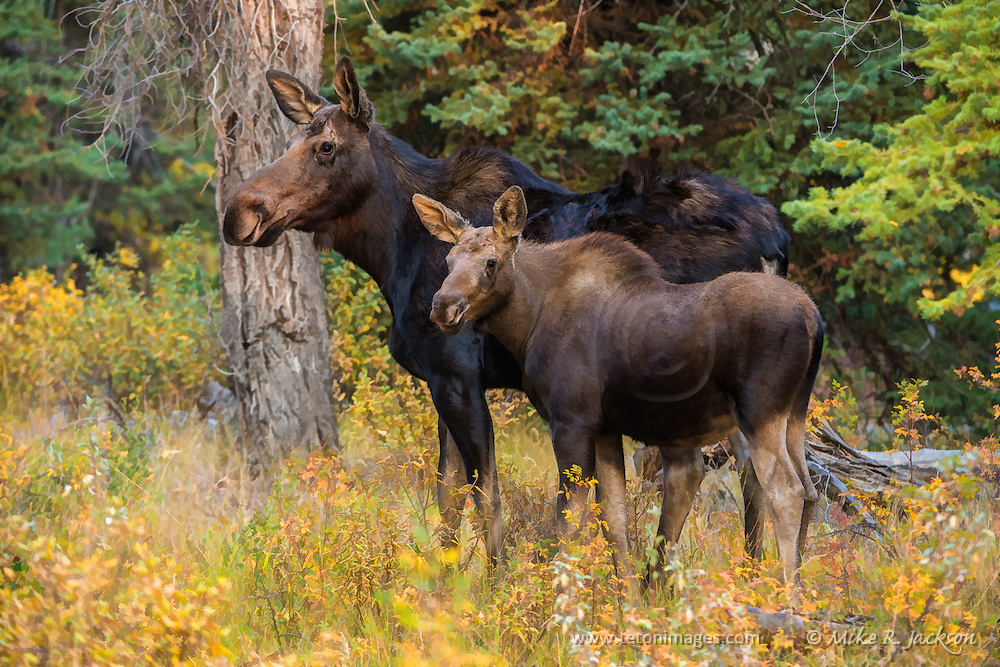 Alert cow and calf moose at the edge of the forest in Grand Teton National Park.
