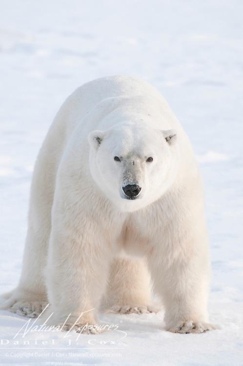 A large male polar bear near Cape Churchill, Hudson Bay, Canada.
