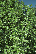 Kohuhu Pittosporum tenuifolium (Pittosporaceae)HEIGHT to 10m. Stout-boled tree. BARK Smooth and dark grey. BRANCHES Densely packed; shoots purplish black. LEAVES Oblong or elliptical, to 6cm long and 2cm across with a wavy margin; glossy above, less shiny below. REPRODUCTIVE PARTS Scented tubular flowers, to 1cm long, have 5 deep-purplish lobes and yellow anthers; in clusters or solitary, in leaf axils. Fruit is a rounded capsule, about 1cm long, ripening from green to black. STATUS AND DISTRIBUTION Native of New Zealand; planted here but not hardy, thriving only in Scillies and W Cornwall.