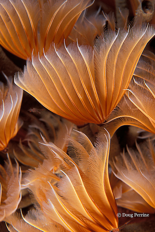 feather-duster worms, Bispira brunnea, Commonwealth of Dominica ( Eastern Caribbean Sea )