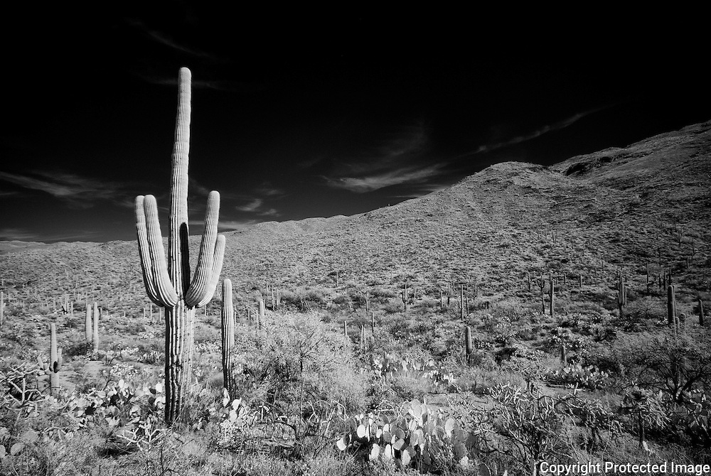 An infrared image of a cactus in the eastern portion of the Saguaro national Park in Tucson, Arizona.