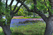 These oaks frame a scene of bluebonnets, prickly pear cactus, and Indian paintbrush in central Texas.
